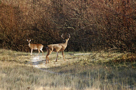 A isolated picture of a buck and doe deer during mating season taken in Indiana Stock Photo