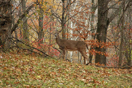 A picture of a doe deer taken in a forest in Indiana
