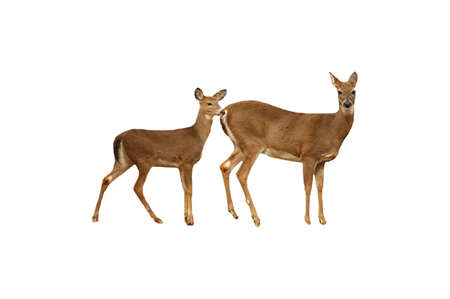 A picture of a doe and fawn deer taken in a forest in Indiana
