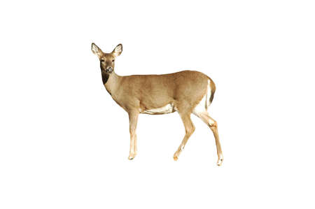 A picture isolated of a doe deer taken in a forest in Indiana