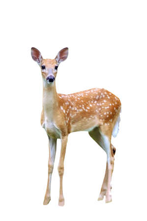 A isolated picture of a fawn deer taken in a forest in Indiana photo