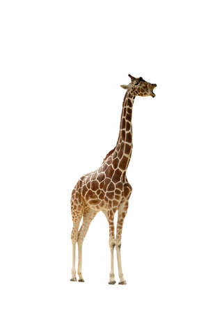 A  isolated extracted picture of a giraffe taken at a Wisconsin zoo Stock Photo