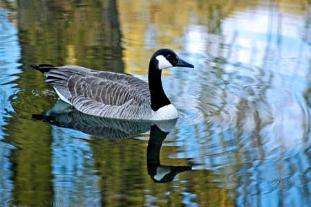 A picture of a goose taken in a pond in Wisconsin