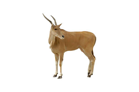 A isolated picture of an impala taken at a Miami zoo