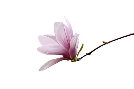 A isolated picture of a single elegant magnolia blossom photo