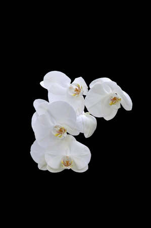 A isolated picture of a white orchid with black background Stock Photo