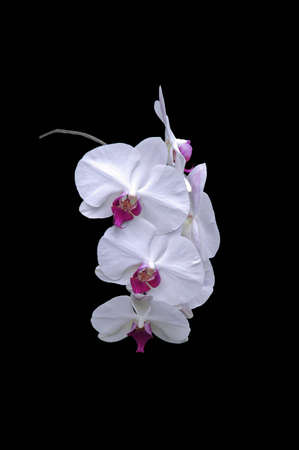A isolated picture of a white and purple orchid with black background