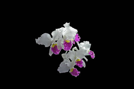A isolated picture of a white and purple orchid with black background photo