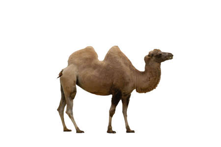 A isolated extracted picture of a camel taken at a Miami zoo Stock Photo
