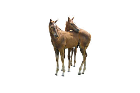 A isolated picture of twin colts taken on a farm in Indiana Stock Photo