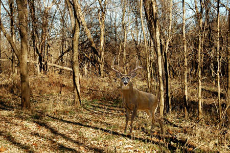 A picture of a buck deer taken in the forest in Indiana photo