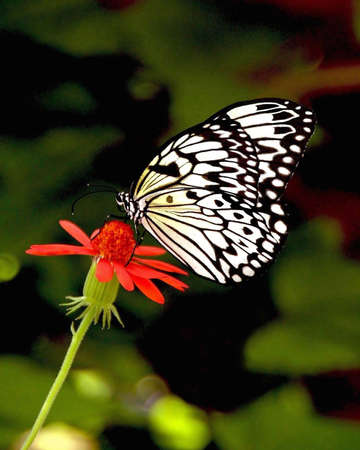 A picture of a black and white butterfly taken in Indiana Stock Photo