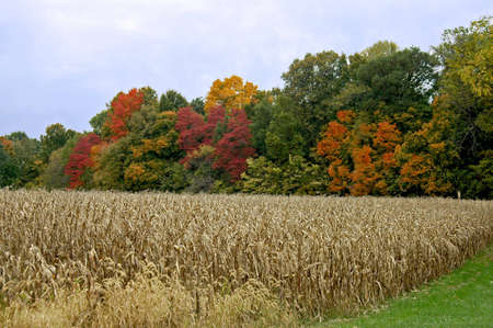 A picture of a corn field in fall taken in Indiana