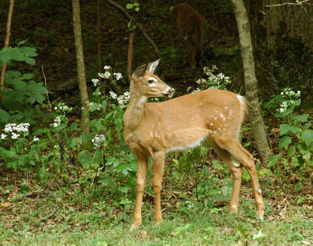 A picture if a fawn taken in the forest in Indiana Stock Photo - 2601473