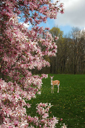 A picture of magnolia blossoms with a fawn deer in the background