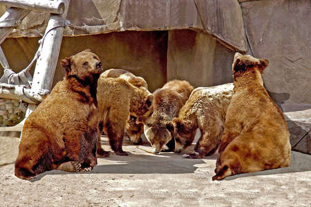 foreleg: A picture of six bears looking like they are in a huddle playing football