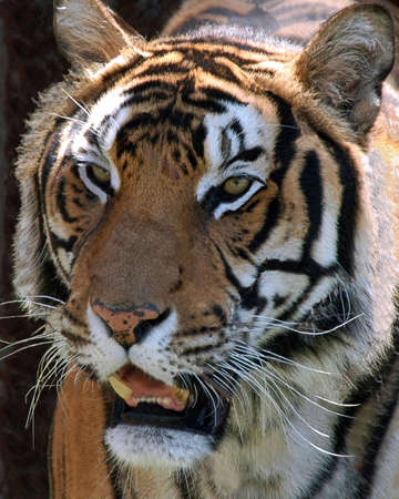 A picture of a tiger taken at a reserve in western indiana Stock Photo - 2601406