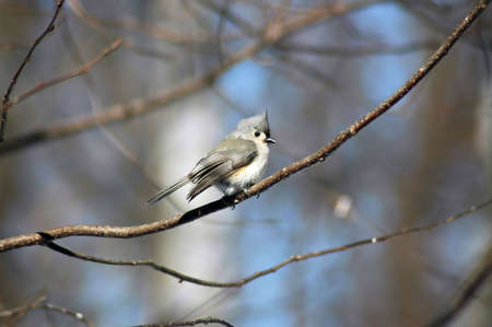 A picture of a titmouse taken in a forest in Indiana