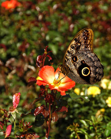 swallowtails: A picture of a butterfly on a flower taken at an exhibit in Chicago Stock Photo