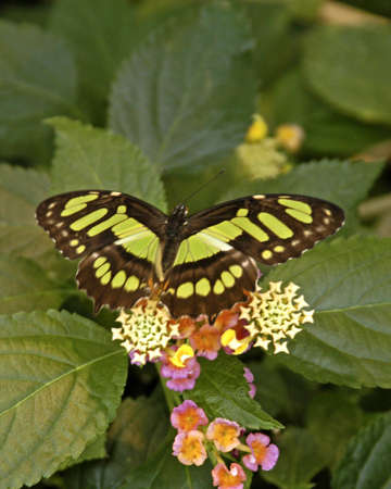 swallowtails:                        A picture of a butterfly on a flower taken at an exhibit in Chicago