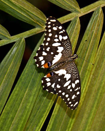 swallowtails: A picture of a buterfly on a flower taken at a exhibit in Chicago Stock Photo