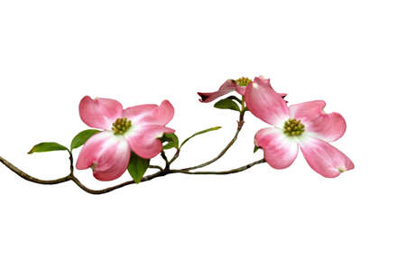 A isolated picture of a magnolia blossom limb on a white background Stock Photo