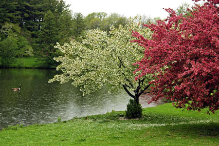 A picture of white and pink cherry blossoms by a pond with a goose in the water photo