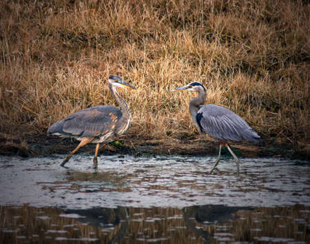 A picture of two blue herons in a pond at sunrise