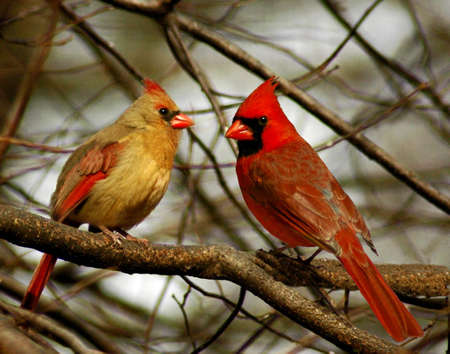 A picture of male and female cardinal in the winter in Indiana