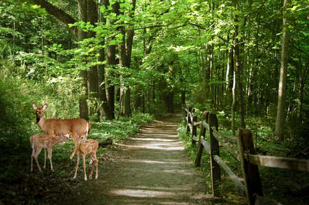 A picture of doe and fawn in the woods in Indiana Stock Photo