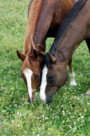 A picture of two horses eating grass in a pasture in Indiana                                Stock Photo