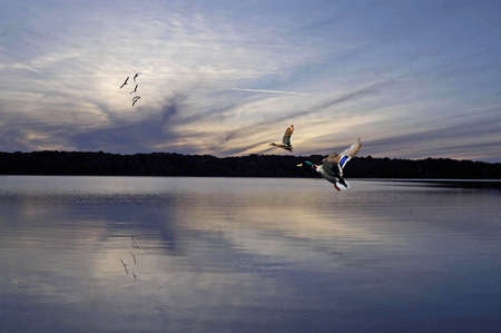 A picture of two malards flying at sunset on a lake in the midwest