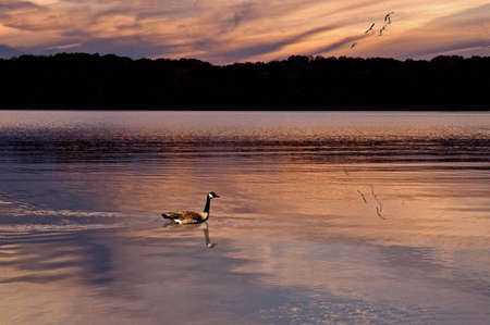 A picture of a goose swimming on a lake at sunset photo