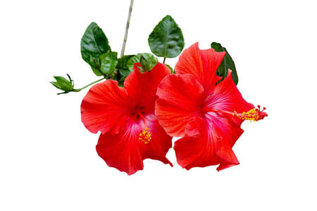 A isolated picture of a red hibiscus with white background