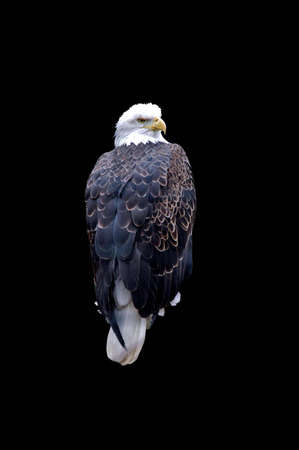 A isolated picture of a bald eagle