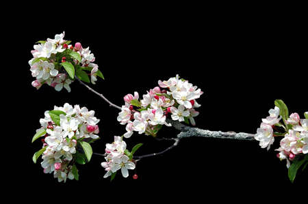 A isolated picture of white cherry blossoms