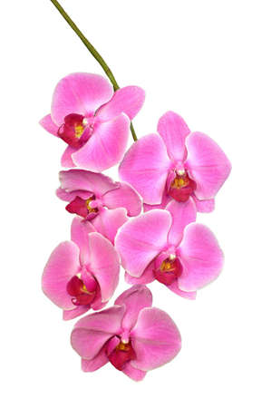 A isolated picture of a pink and red orchid Stock Photo