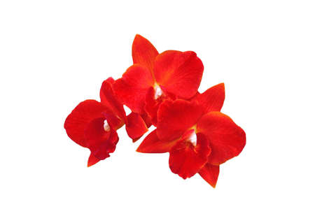 A isolated picture of a red orchid