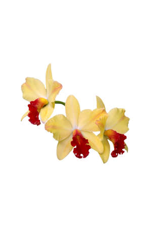 A isolated picture of a yllow and red orchid