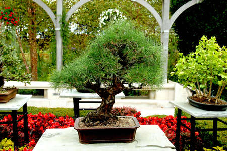 A picture of a bonsai tree taken at a contest in Indianapolis Stock Photo