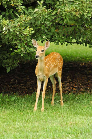 A picture of a doe deer taken in the spring