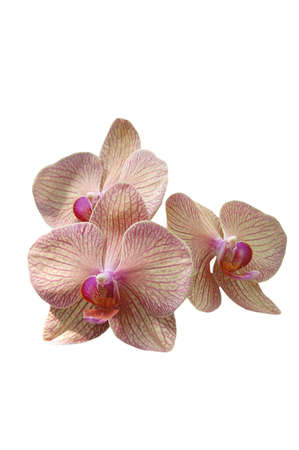 A isolated picture of a white and pink orchid