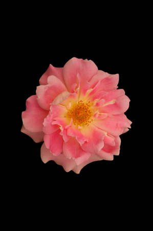 A isolated picture if a pink rose on black