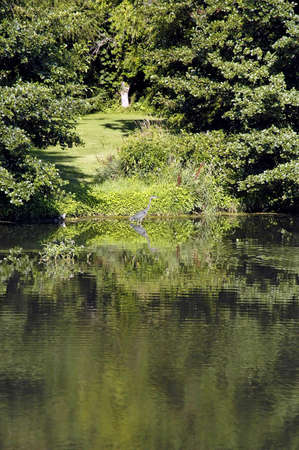 A picture of a pond reflection and a blue heron