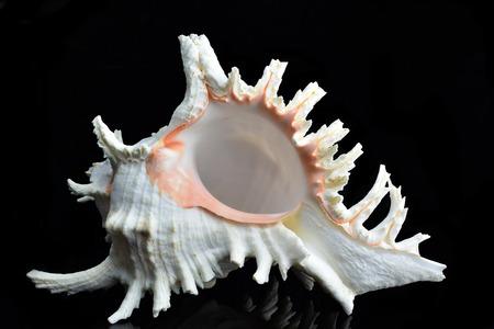 murex shell: Beautiful seashell Chicoreus ramosus, common name the ramose murex or branched murex Stock Photo