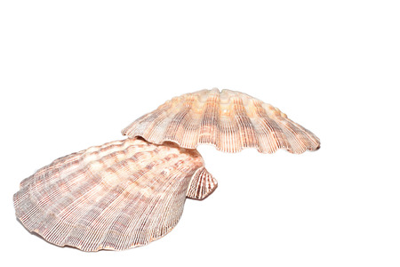 mollusca: The Marine Mollusca Lyropecten nodosus on a white background Stock Photo