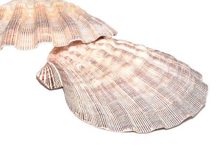 beachcombing: The Marine Mollusca Lyropecten nodosus on a white background Stock Photo