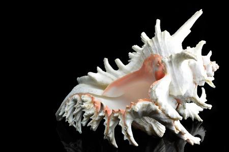 oceanside: Beautiful seashell Chicoreus ramosus, common name the ramose murex or branched murex Stock Photo