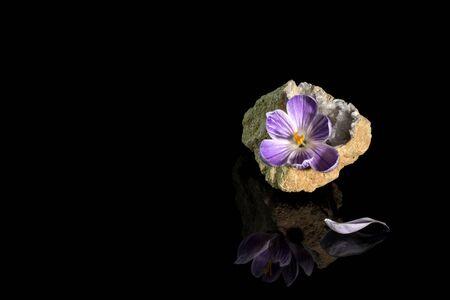 geode: Beautiful crocus flower in quartz geode over black background Stock Photo