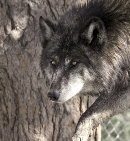 pack animal: Prowling lupo Archivio Fotografico
